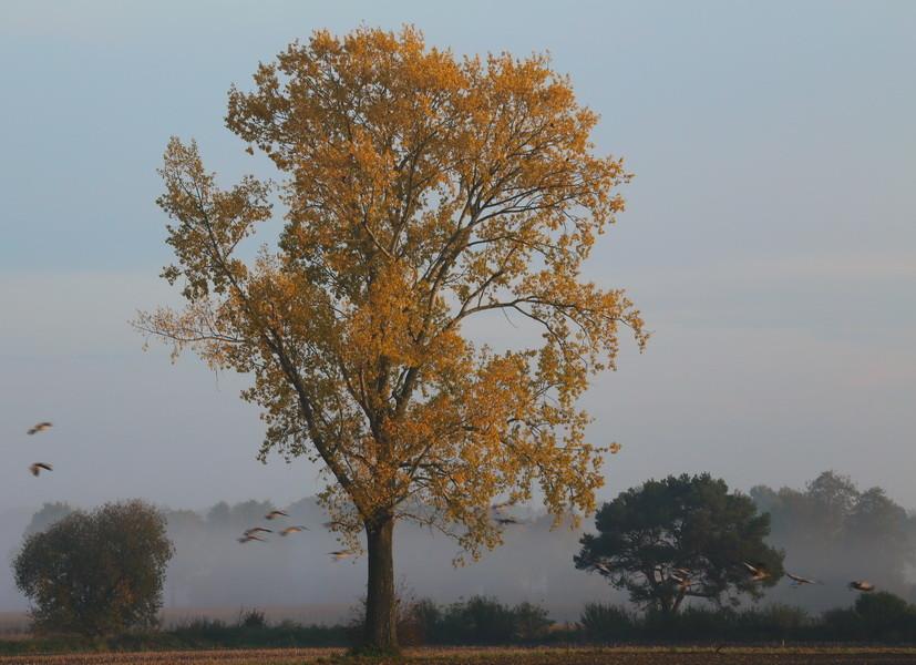 Morgens im Herbst in Merfeld - die Gänse ziehen.