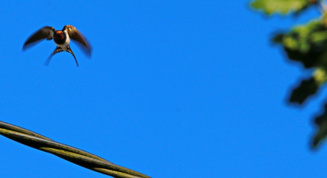 Rauchschwalbe