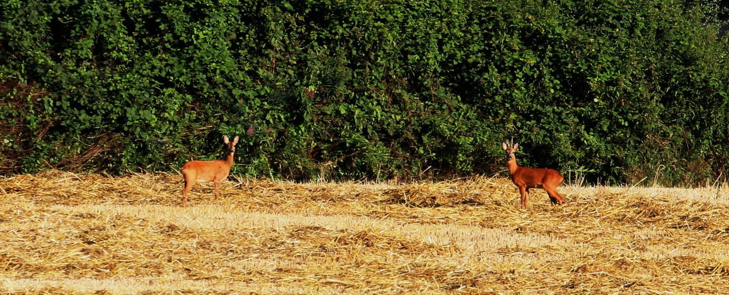 Rehe morgens bei unserer ersten frühen Hunderunde.