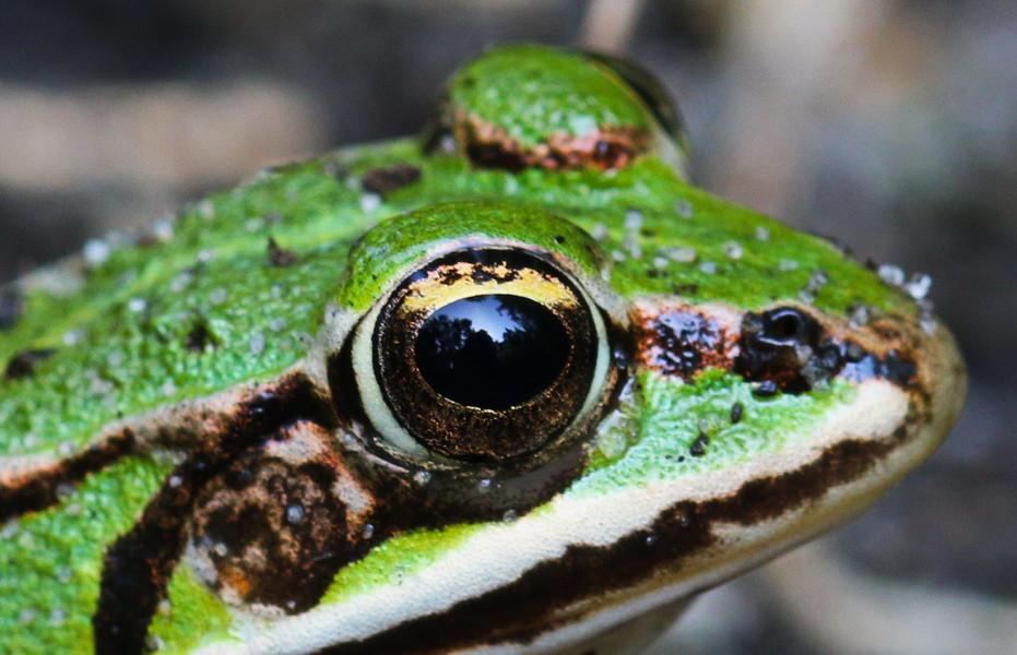 Die Landschaft ist im Auge des Frosches gut sichtbar. Auch der Frosch war geduldig.