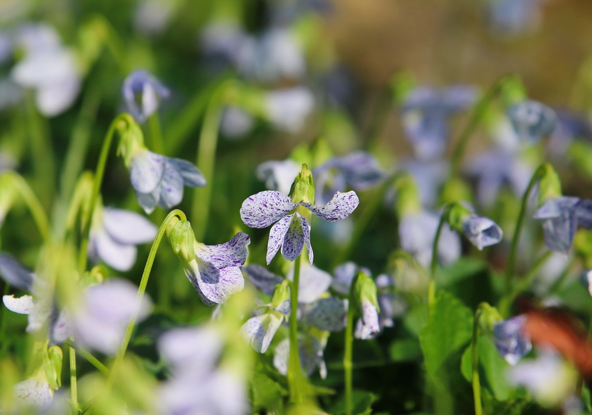 Viola Sororia Wild