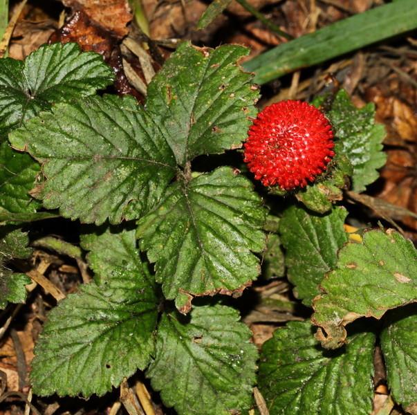 Scheinerdbeere