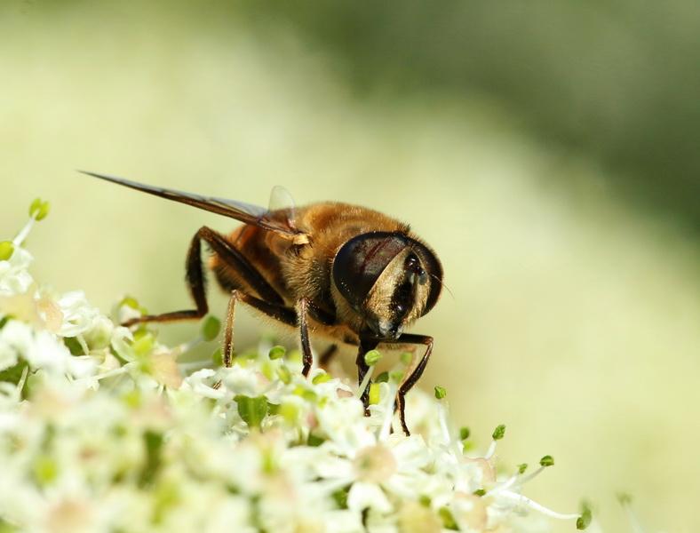 Biene umbestimmt