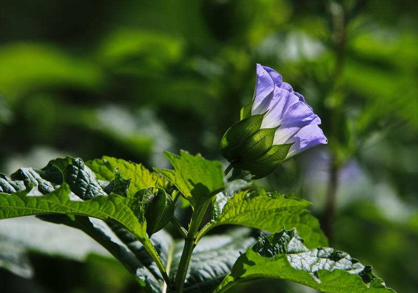 Lampionblume, Blaue