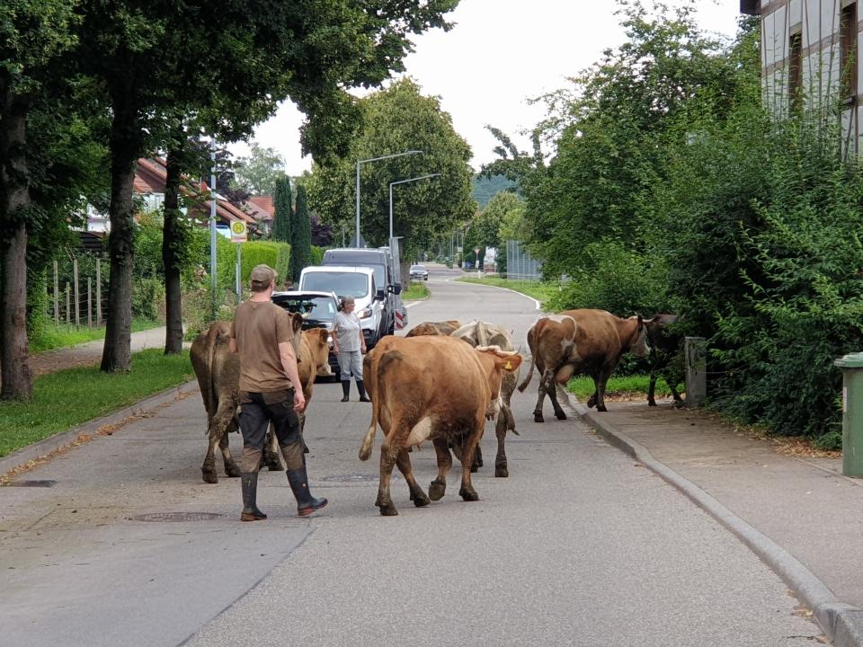 DEMETER-Kühe mit Cowboy