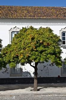 Bitterorangen auf dem Platz der Kathedrale in Faro