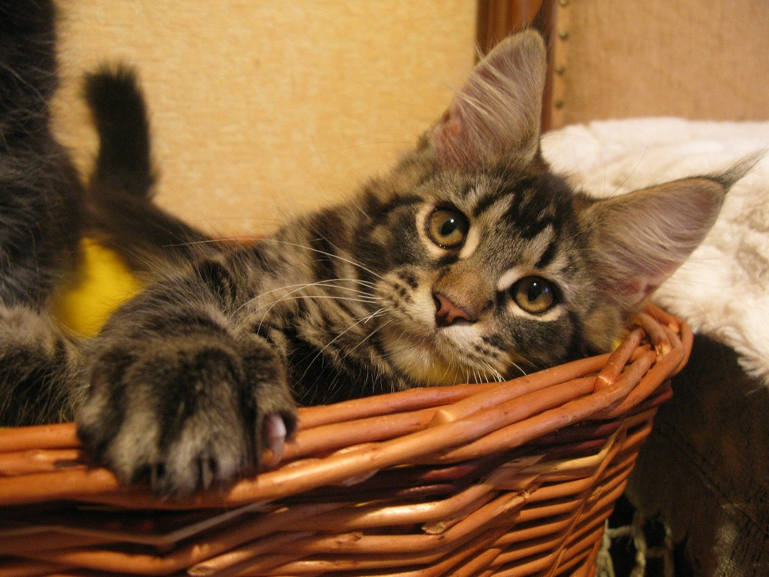 обеда поздравления с кошками мейн-кун питания, пульты