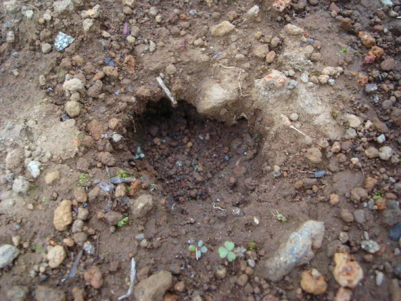 うちの畑に来た「イノシシ」大きな♡型の足跡です。