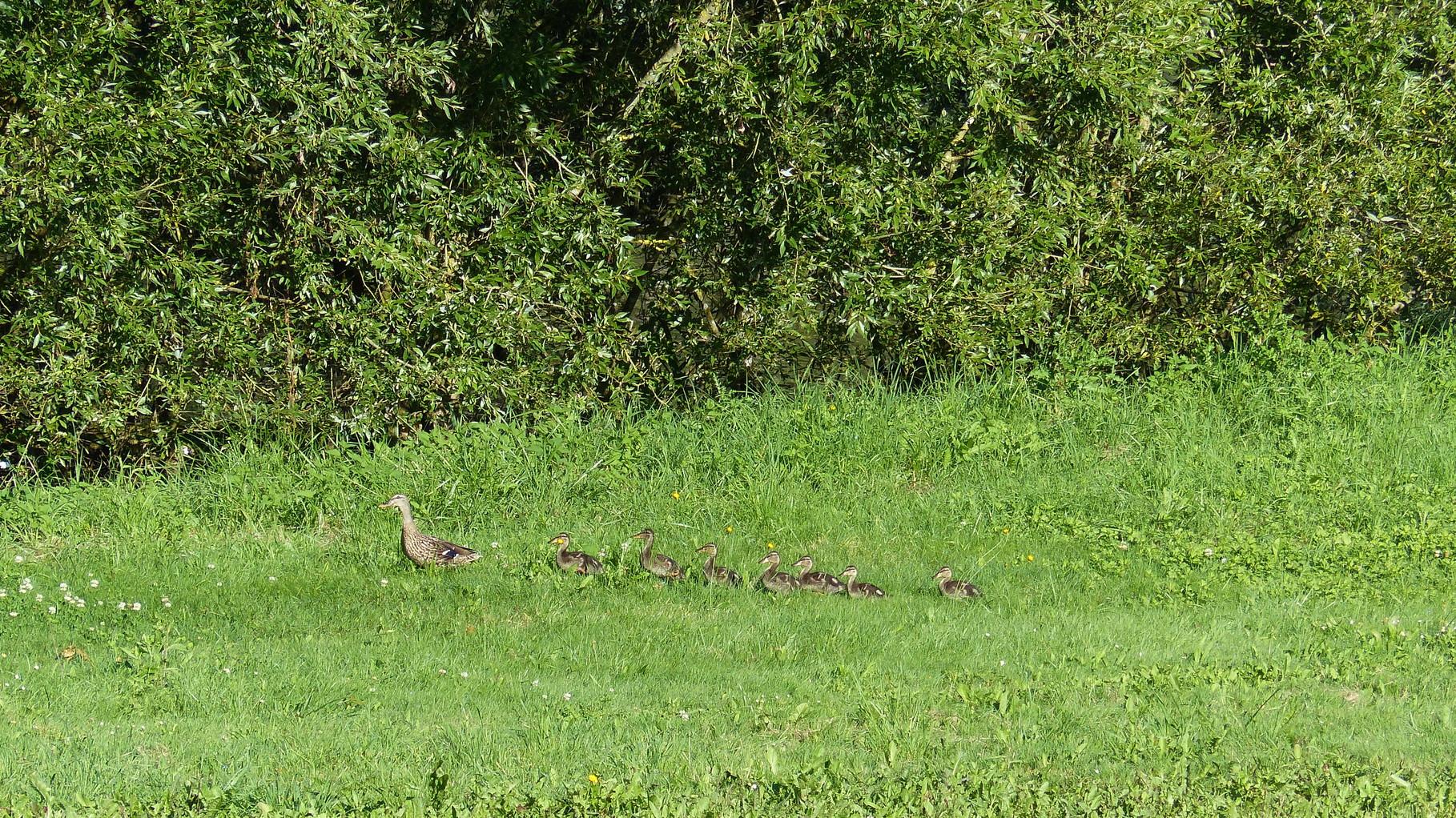 Promenade de la famille canard au bord de l'étang