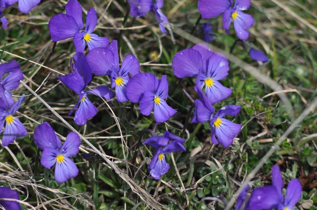 Pensées des alpes...fleurs aux propriétés médicinales pour la sphère respiratoire