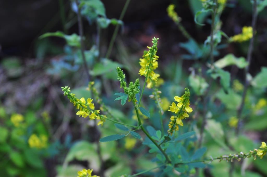 Mélilots jaune...je l'utilise beaucoup en cuisine pour son parfum de vanille (coumarine)