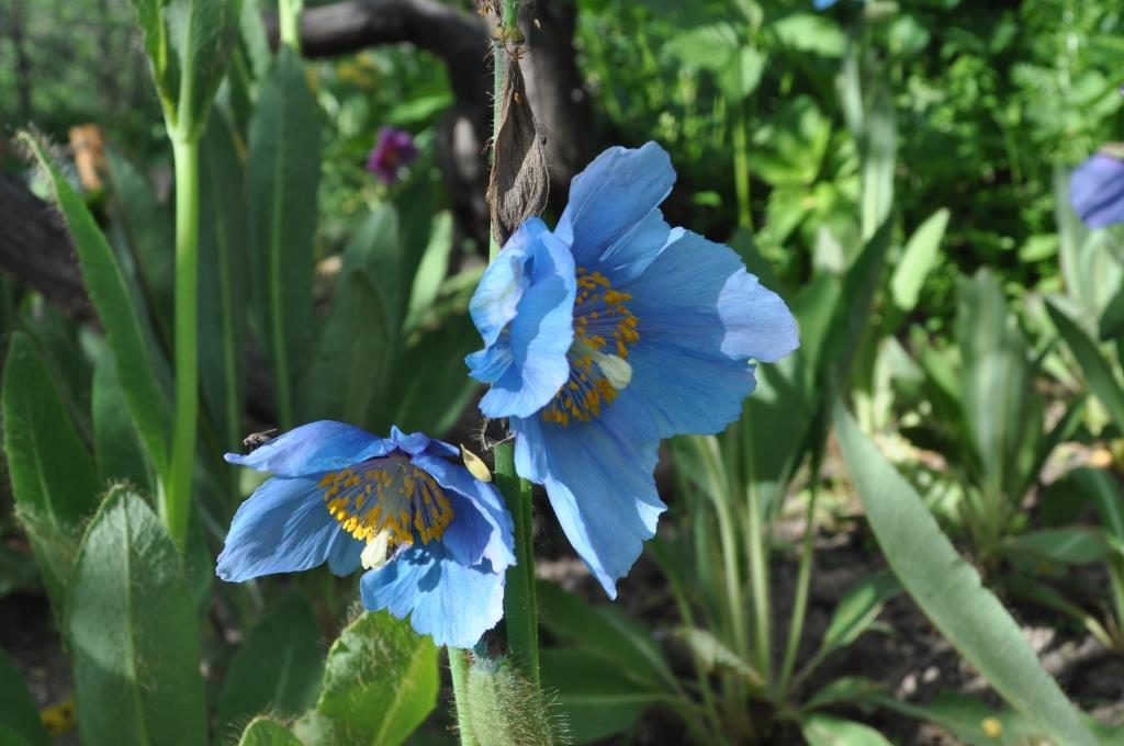 le pavot bleu Himalaya à rencontrer au jardin alpin du Lautaret