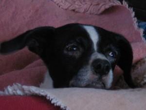 Gretelchen ist zwölf geworden.... ein enormes Alter für einen Hund mit Wasserkopf. Und es geht ihr gut!