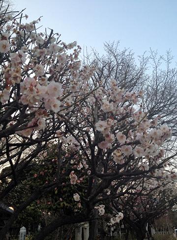 白山神社 桜