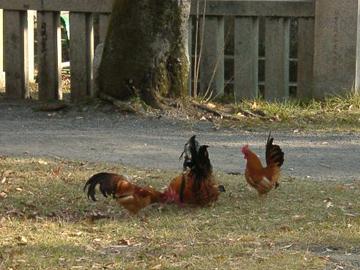 静岡縣護國神社 神鶏
