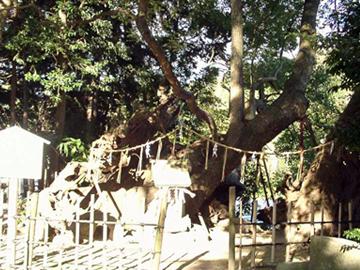 草薙神社 御神木の楠木