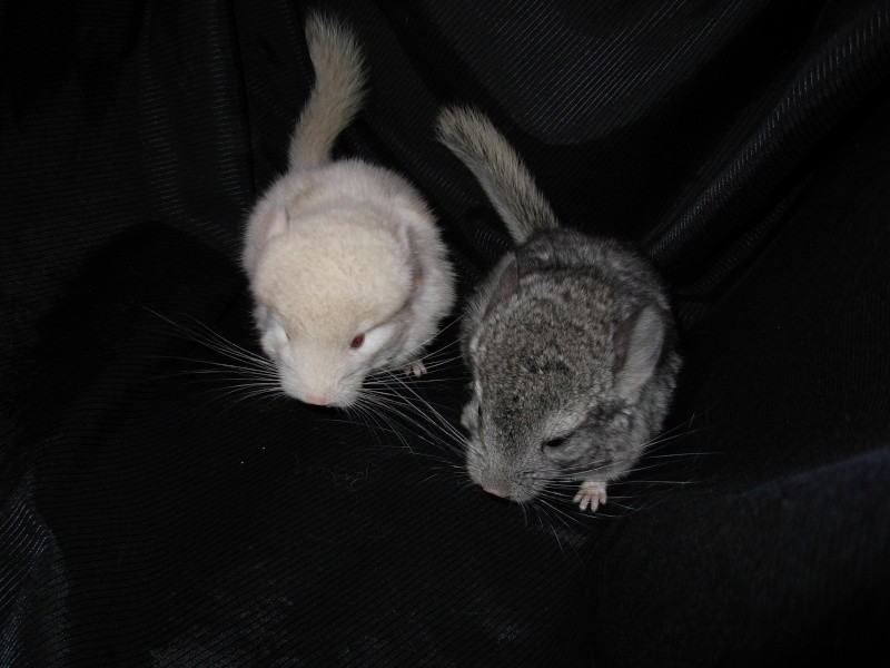Beige Homo y Gris estandar ambos con curly tail 15.09.09