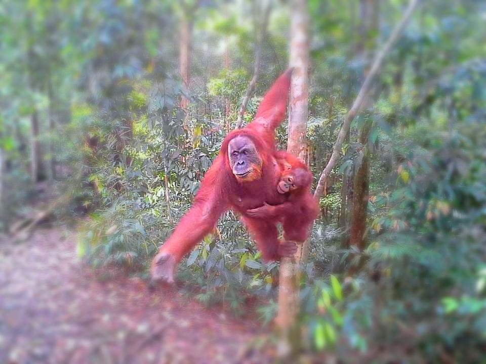 Orangutan in Bukit Lawang