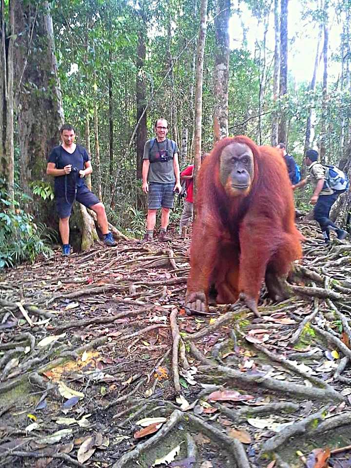 Orangutan Mina in Bukit Lawang