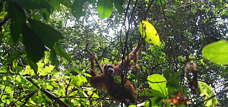 Orangutan in the Gunung Leuser Nationalpark