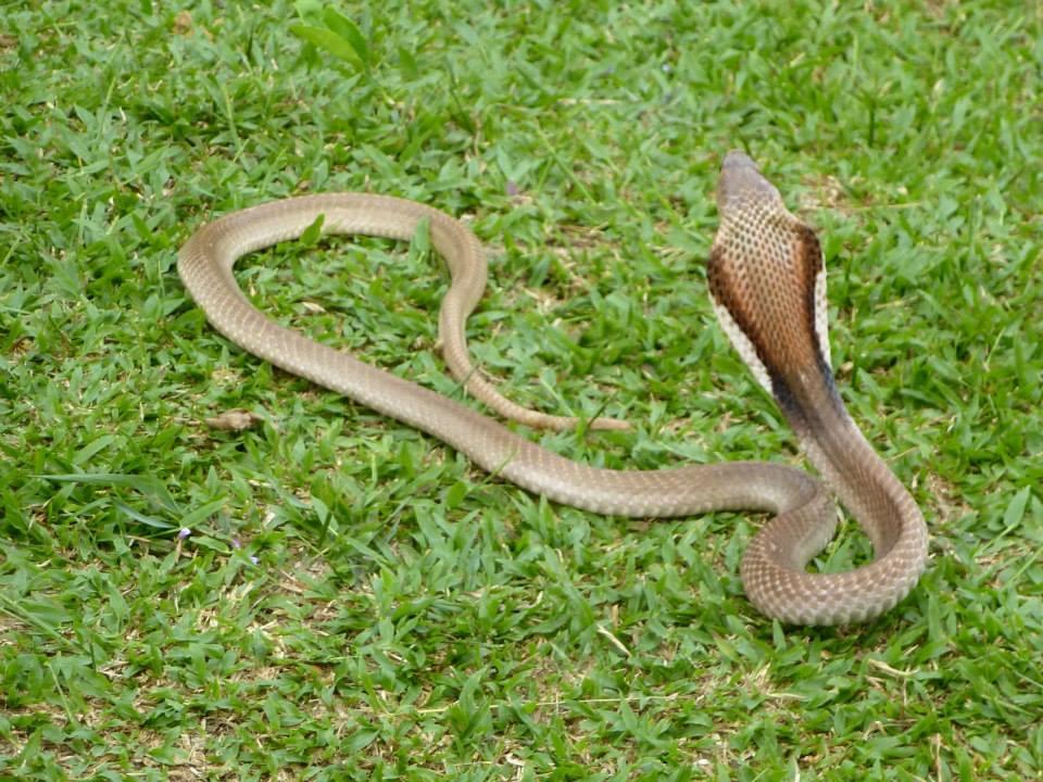 Cobra in Bukit Lawang