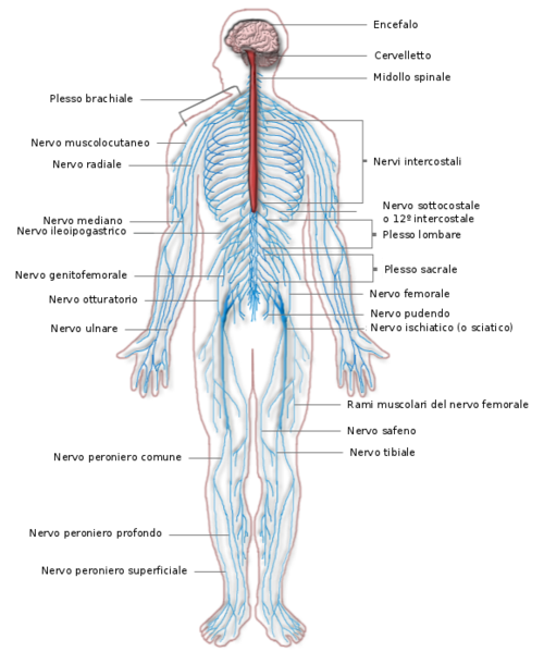 Sistema Nervoso Centrale e Periferico.