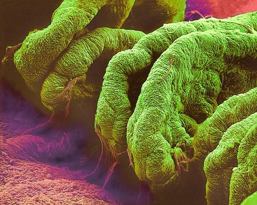 Corpo ciliare al microscopio.