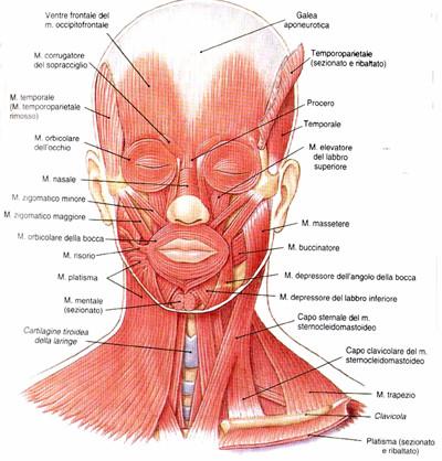 I muscoli della testa.