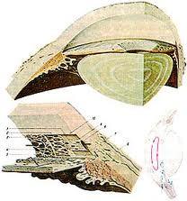 Sezioni della zonula di Zinn.