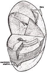 Cristallino sezionato in modo da mostrare chiaramente la capsula.