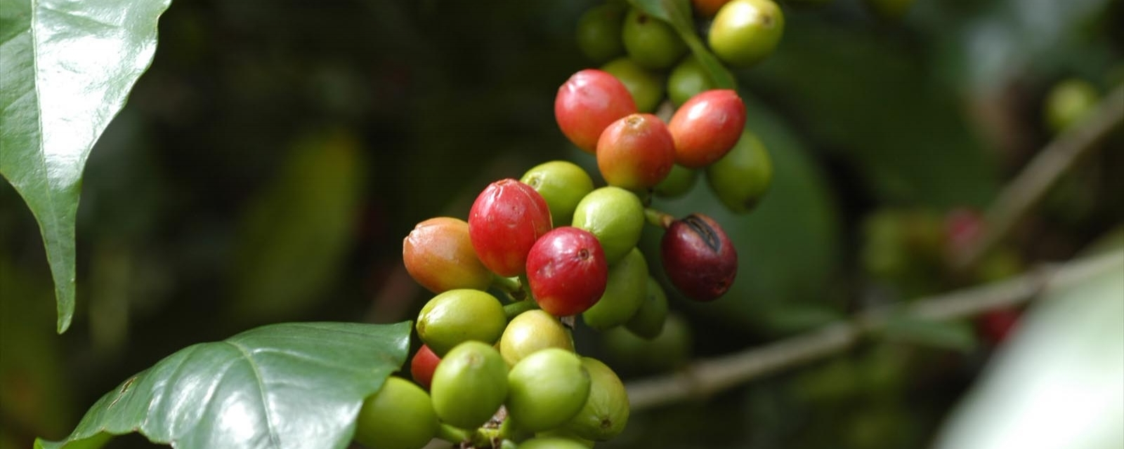 Äthiopischen Kaffee kaufen -Neuigkeiten von TERRA KAHWA ...
