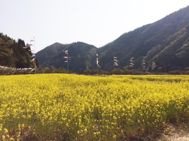 月川温泉の菜の花