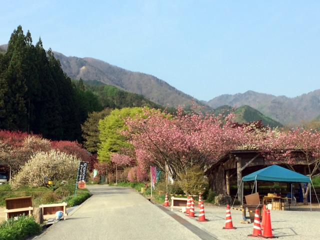 月川温泉 八重桜が満開です