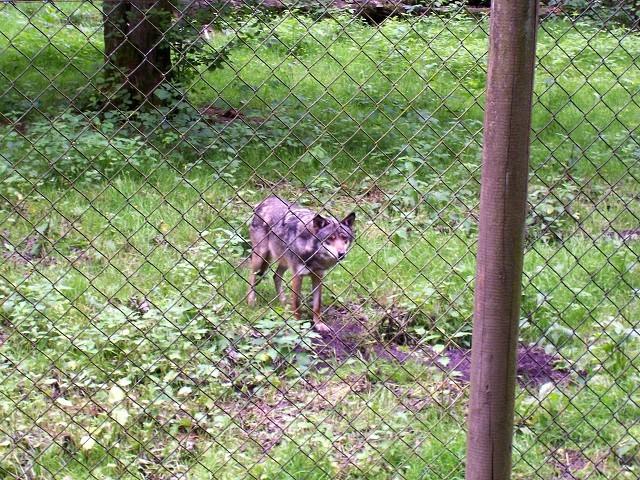 Ein gar nicht so böser Wolf