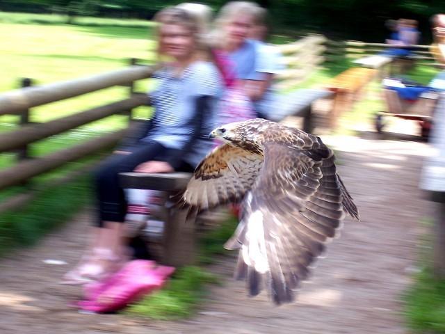 Im Gegensatz zu diesem Falken bei der Flugshow