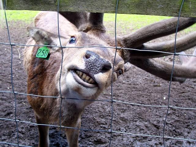 ...mit seinem schönsten Lächeln (im Oberkiefer haben Hirsche keine Schneidezähne)