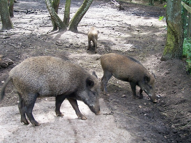 Die Wildschweine (Obelix wäre begeistert)