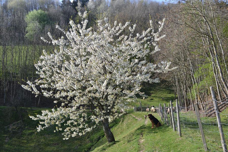 Blühende Obstbäume rund um unseren Bauernhof, die herrliche Schwarzwaldlandschaft lädt ein zu Spaziergängen