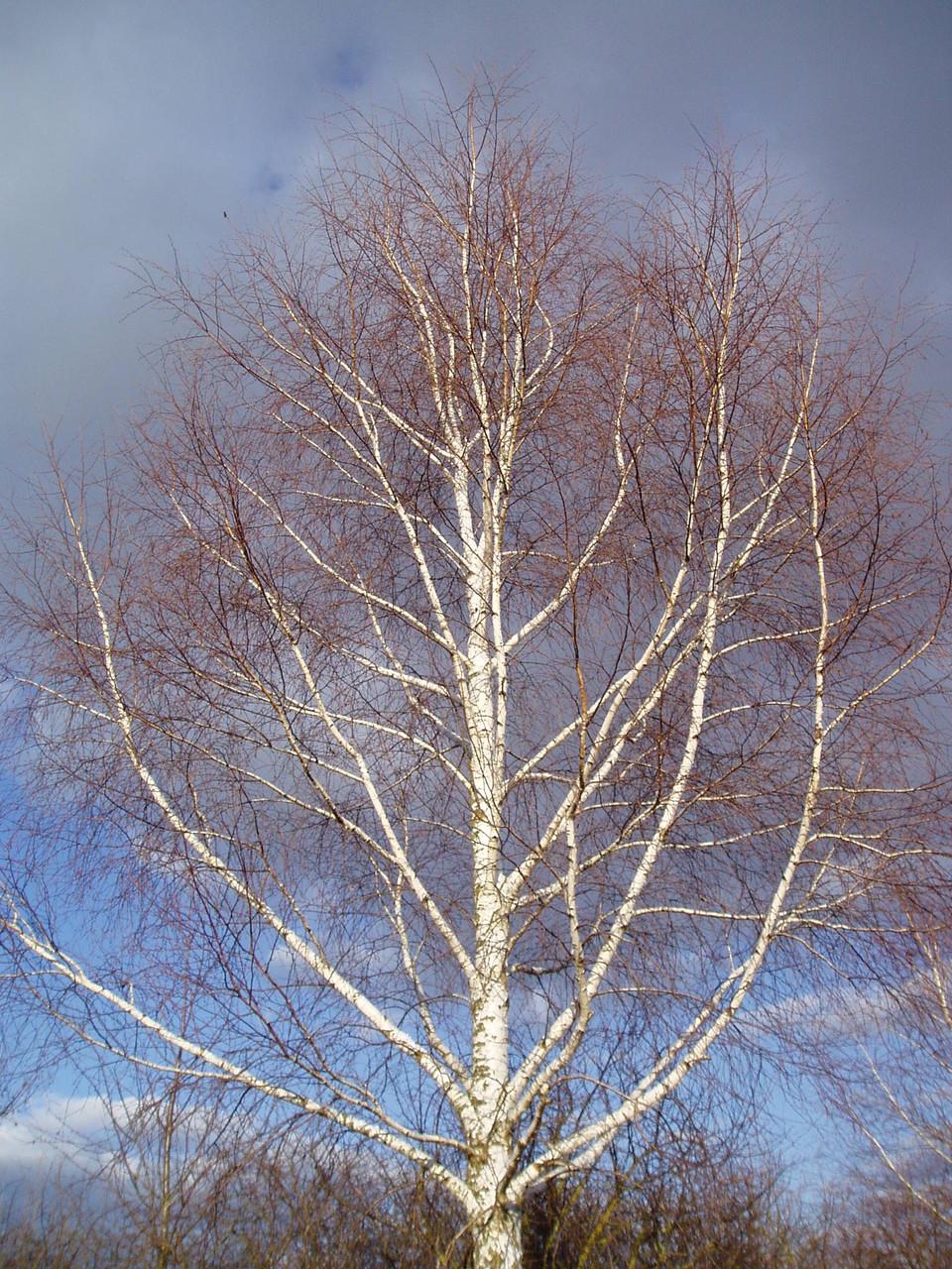 leuchtende Winterbirke