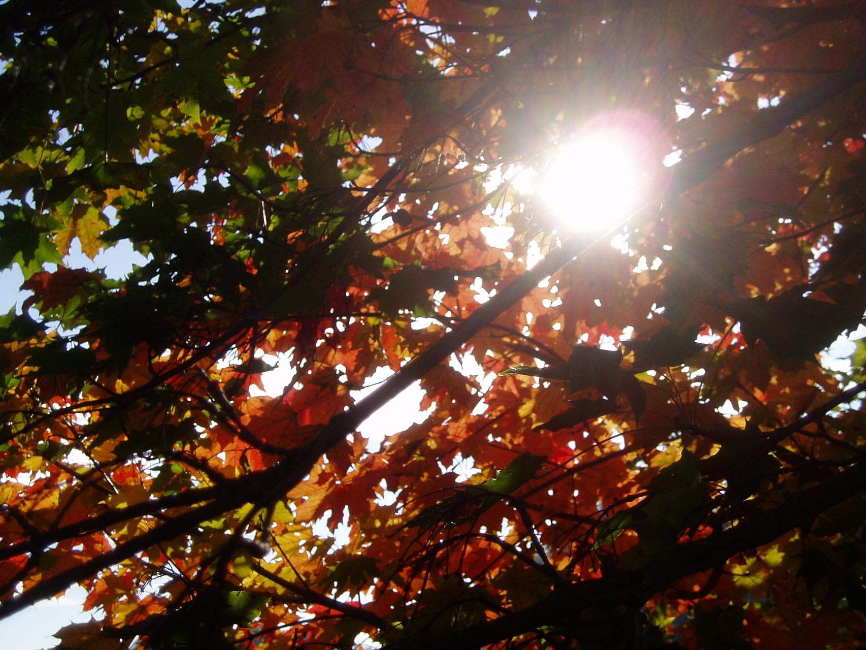 kupfernes Licht im herbstlichen Blätterdach