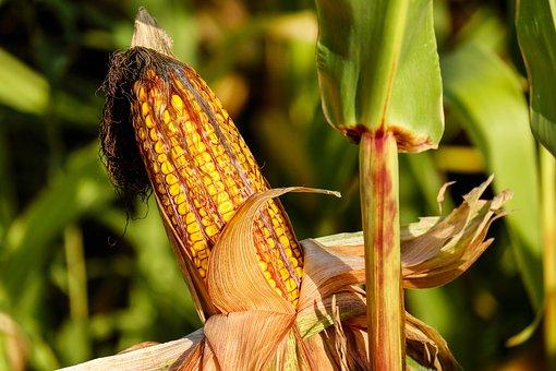 epi de maïs à polenta producteur bio isère