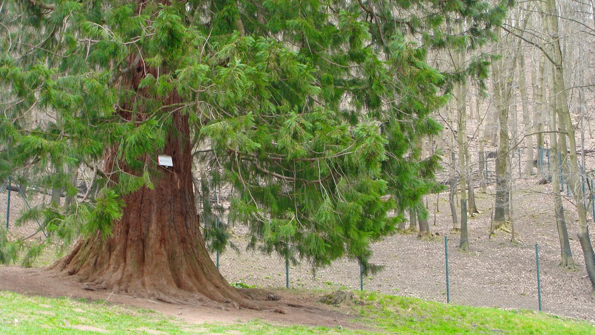 Mammutbaum im Wildpark Wernigerode