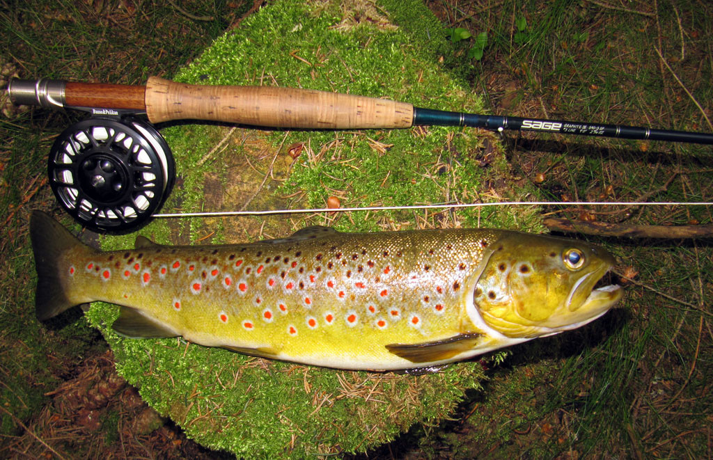 Mountain browntrout