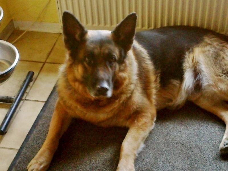 Panscho, 11jähriger Schäferhund, super lieb, sucht Zuhause