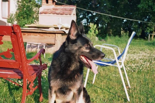 Massimo, 11jähriger lieber Schäferhund sucht ebenerdiges Zuhause mit Garten