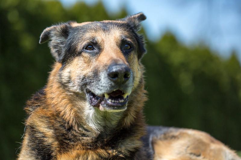 Bärli, ein wunderbarer Schäferhund(mix?)