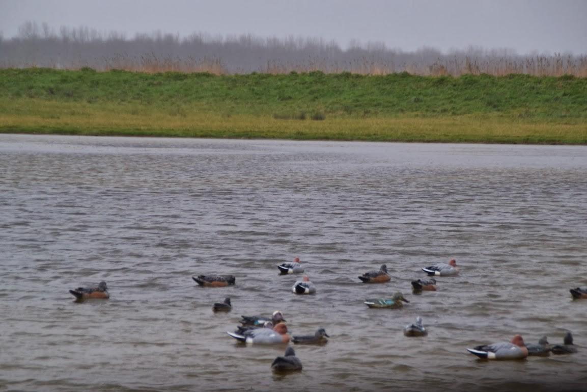 """Canards """"appelants"""" sur le plan d'eau du gabion"""