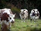 100 millions de litres par an à répartir dans la filière laitière normande