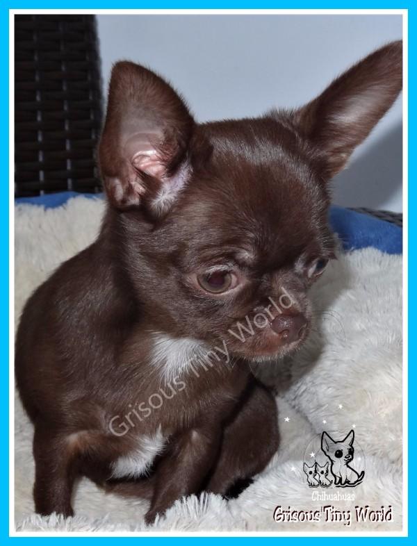 Maybe Chokolina, jeune femelle Chihuahua entièrement chocolat foncé