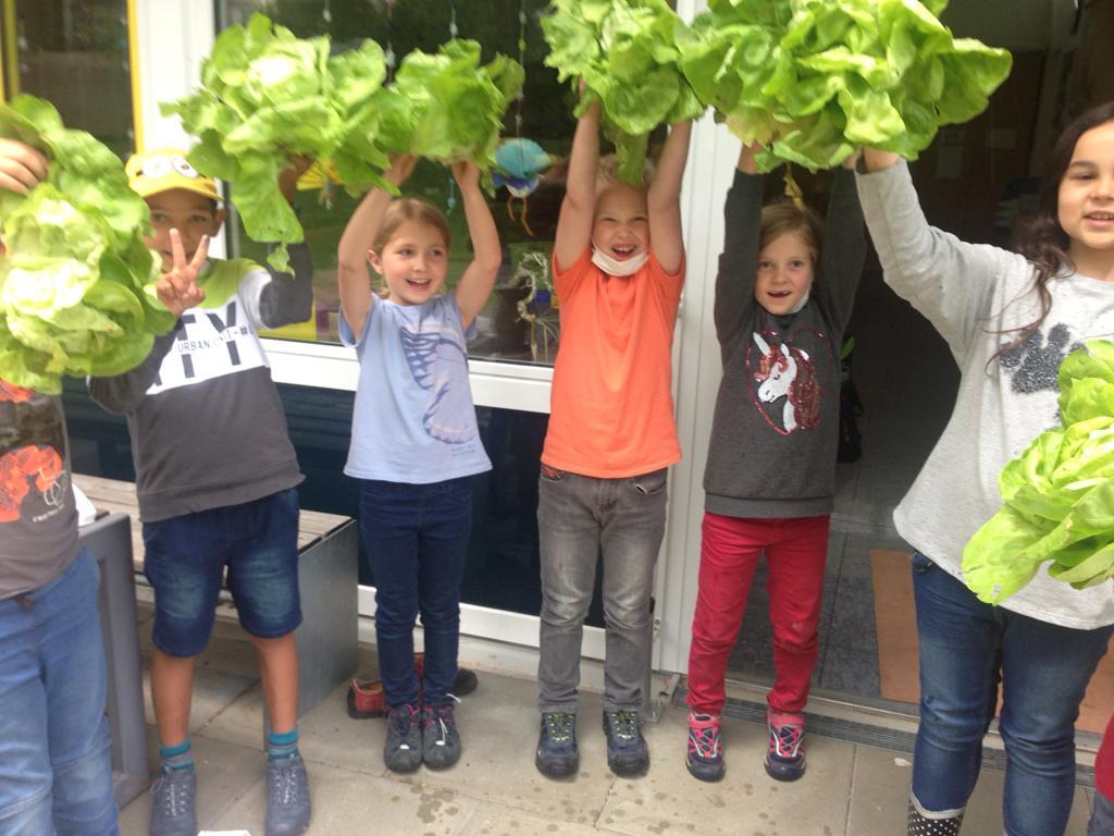 unsere erste Salatkopf- Ernte